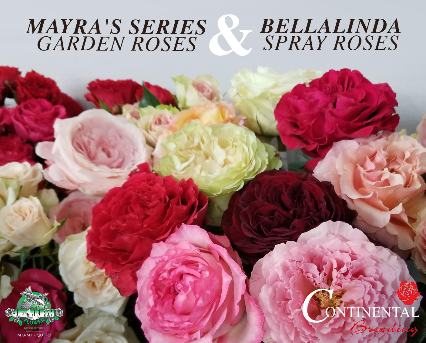 Roses In Garden: Mayra's Series Garden Roses And Bellalinda Spray Roses